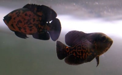 The zebrafish showed little or no response to the animated images of a red tiger oscar in Professor Porfiri's lab. Image credit: Simone Macri