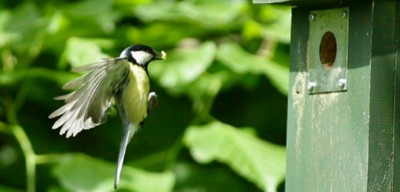 Great tit returning with a caterpillar Photo: Roy & Marie Battell