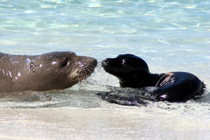 The Hawaiian monk seal (above) is one of eight endangered species highlighted in NOAA's Species in the Spotlight campaign. Image credit: NOAA
