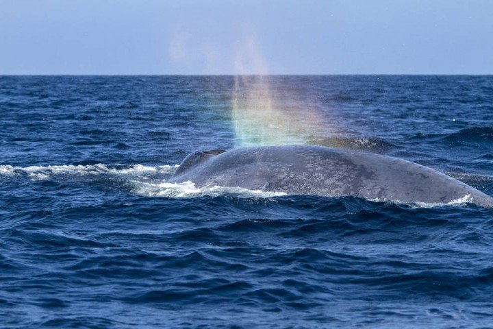Blue whale off the coast of southern California in 2014. Blue whales are among the world's most endangered species. In the first half of the 20th century, humans killed 336,000 blue whales in the Antarctic alone, reducing the population there to about 2,000 today, less than one percent of those hunted, said Mate. Credits: Craig Hayslip/Oregon State University