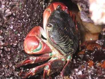 Crustaceans, such as this lined shore crab, Pachygrapsus crassipes, have a low physiological capacity to acclimate to warmer temperatures, though they are twice as flexible as terrestrial animals. Image credit: Nate Miller
