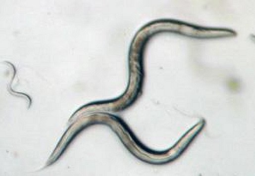 Caenorhabditis elegans -- a millimeter-long roundworm with a genetic makeup scientists understand -- is central to a pair of Japan Aerospace Exploration Agency investigations into muscle and bone loss of astronauts on the International Space Station. Credits: NASA