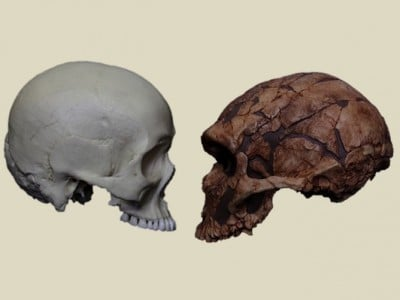 Modern human (left) and a Neanderthal (right). Despite being a different species to us, around 1-6% of the genome of living non-Africans comprises Neanderthal DNA. Darren Curnoe