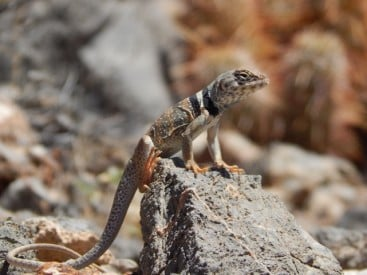 Terrestrial lizards such as this Great Basin Collared Lizard, Crotaphytus bicinctores, will have difficulty adjusting to global warming. Image credit: Alex Gunderson