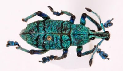 The bright green coloring of a weevil is revealed as scales under a light microscope.