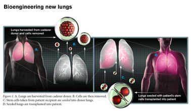ASU researchers are working to improve aspects of lung engineering that may in the future contribute to providing a nearly limitless supply of donor organs, ideally matched to their recipients, or to repairing damaged lungs.  Although years of work and further study remain before such research could be a reality in the clinic, the potential is there and the results to date are promising. Photo by: Michael Northrop/Biodesign Institute