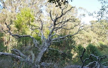This once-majestic coast live oak in Marin County, Calif., has succumbed to sudden oak death. Image credit: Matteo Garbelotto