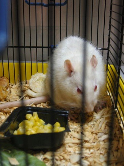 The research showed that rats dream about path to the food in their sleep. Such results were achieved through monitoring of brain activity and could explain some human conditions as well. Image credit: John Ruby via Wikimedia, CC0 1.0 Public Domain