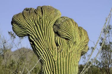 Patterns of abnormal growth in some flowers and plants result in rare features known as fasciations. Here, a crested saguaro cactus displays fanlike irregularities thought to be the result of somatic mutations in their stem cells.  Photo by: Creative Commons License