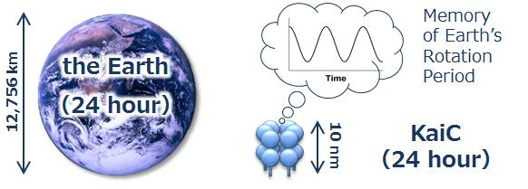 This image shows Earth and the circadian clock protein KaiC. Image credit: IMS/NINS