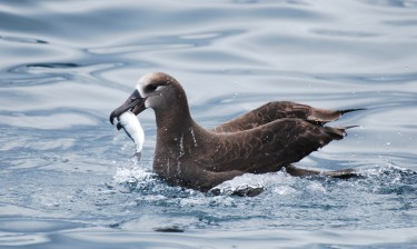 An albatross catches a herring. Image credit: Langara Fishing Adventures