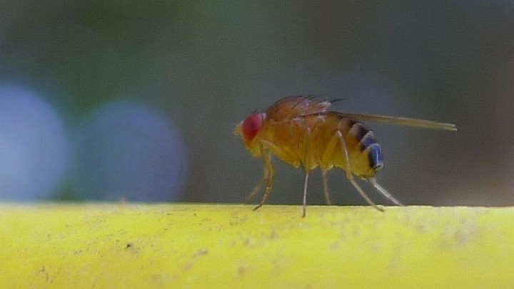 Fruit flies are often used to test effectiveness of drugs. This time scientists found out that fruit flies that receive cancer drugs, live up to 12% longer than average. Image credit: John Tann via Wikimedia, CC-BY-2.0