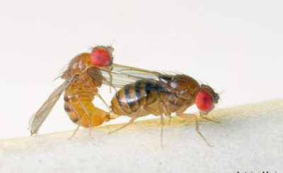 Mating pair of Drosophila serrata. Credit: Antoine Morin
