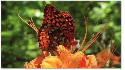 A great spangled fritillary pollinates a flame azalea. Photo by Suzanne Allison