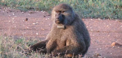 Olive baboon with GPS collar Photo: Meg Crofoot