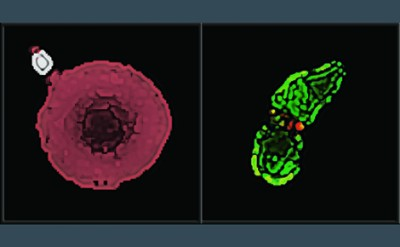 The parasites of malaria and toxoplasmosis invading their host cells.