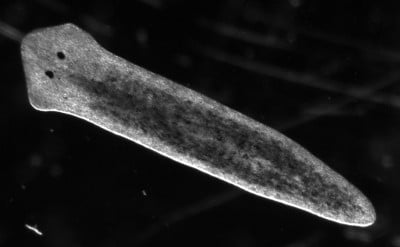 Freshwater planarians are small, inexpensive, easy to breed, sensitive to chemicals in the water and develop within a week. Credit: UC San Diego