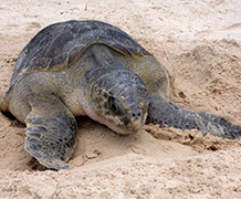 Nesting female olive ridley sea turtle encountered on the coastal walk. Photo credit: Dominic Tilley