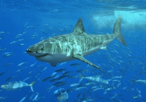 Great white sharks require plenty of oxygen as metabolic fuel, and even more in warmer waters. They are among marine animals whose distributions will likely shift to meet their oxygen needs under climate change. Image credit: Terry Goss / Wikimedia