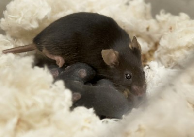Kelleher and colleagues found that mice lacking the zinc transporter ZnT2 had reduced mammary gland development and severe defects in function during lactation. Image: Patrick Mansell