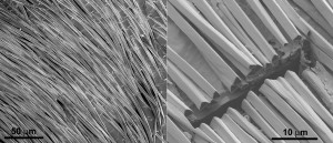 The hairs grow parallel to the skin and are separated from the skin by a small air gap. The hairs have triangular cross-sections with two corrugated top facets and a flat bottom facet facing the ant's body. Image credit: Norman Nan Shi and Nanfang Yu, Columbia Engineering