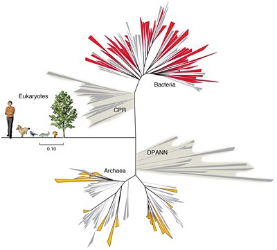 The new groups of bacteria (CPR) greatly expand the known and characterized groups. These and previously reported new groups of Archaea (DSPANN) show that the Tree of Life is more complex than thought. Image credit: Banfield group graphic
