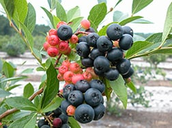 The new winter-hardy, black-fruited blueberry named Nocturne and developed by ARS.
