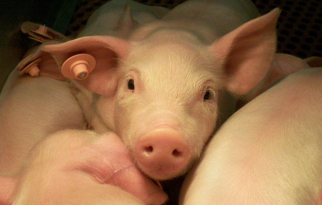 ARS scientists are studying a natural antimicrobial enzyme as a possible alternative to antibiotics for promoting pig health and growth. Photo by Gloria Solano-Aguilar.
