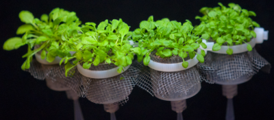 Michigan State University researcher James Kremer invented FlowPots, a bottom-irrigated pot design, in order to raise microbe-free plants for his research. Photo courtesy of James Kremer.