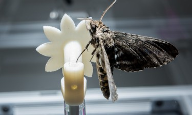 A hawkmoth clings to a robotic flower used to study the insect's ability to track the moving flower under low-light conditions. Image credit: Rob Felt, Georgia Tech