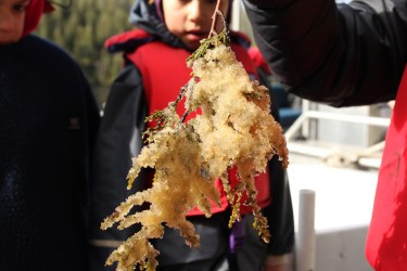 What is the cultural significance of herring? Harvesting herring roe, or eggs, on a cedar branch. Image credit: Max Bakken