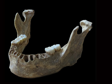 Genetic analysis of a 40,000-year-old jawbone from Romania reveals that early modern humans interbred with Neanderthals when they first came to Europe. Image credit: Svante Pääbo