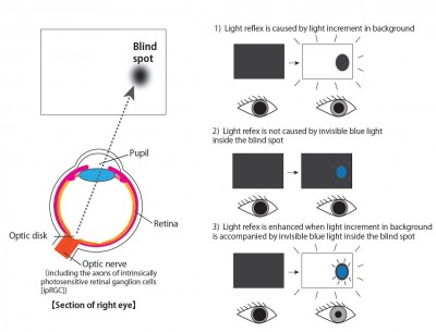 Pupillary light reflex in response to light stimuli inside and outside the blind spot Left: Relationship between the blind spot and the optic disk. Right: summary illustrations of results. In each panel, white and blue lights indicate the light stimuli presented outside and inside the blind spot, respectively. Image credit: Ikuya Murakami.