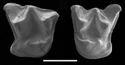 Teeth of a 16-million-year-old bat discovered in New Zealand. (Credit Rod Morris)