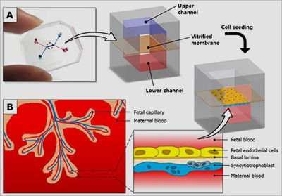 Figure: A placenta-on-a-chip microdevice: A) The device's upper (blue) and lower (red) chambers are separated by a semi-permeable membrane. B) Researchers placed maternal cells in one chamber and fetal cells in the other. They then added glucose to the maternal-cell chamber and observed how it traveled through the membrane to the fetal-cell chamber