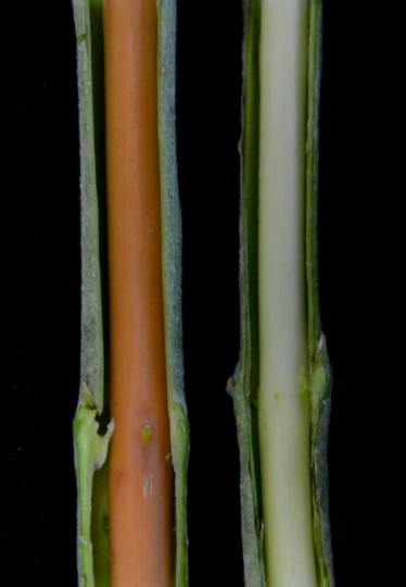 Poplar plants produced by scientists using CRISPR gene editing tool had red wood, which is a sign that a lignin-gene-targeting experiment was successful. Image courtesy of news.uga.edu.