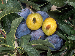 ARS scientists have found some yeasts that have the potential to be biological controls of brown rot, the economically most damaging problem of stone fruits.