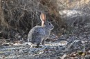 A desert cottontail rabbit in Palm Springs, California. This was one of three species or rabbits and hares that lived at a coastal site in Baja California, Mexico, during the past 10,000 years. A study of rabbit and hare bones excavated from the Baja site shows how the animals' populations soared when rains drenched the Pacific Coast during prehistoric El Niño episodes. Image credit: Jack Broughton, University of Utah