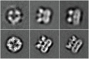 The fuzzy top row shows the TRPV1 receptor, the protein that senses heat and the spiciness in chili peppers, imaged using the old, light-based camera. The bottom row shows far more detailed pictures taken with the new direct electron detection camera developed by UCSF scientists and others.