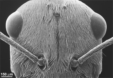 A scanning electron microsocope (SEM) view of the Saharan silver ant's head densely covered in hairs. Image credit: Norman Nan Shi and Nanfang Yu, Columbia Engineering