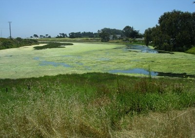 Excess nutrients stimulate the growth of algae in Elkhorn Slough, leading to the formation of green algal mats on the surface. (Photo by Brent Hughes)