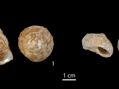 Phorcus turbinatus shells. Top and side views of 1) a complete specimen and 2) a shell of which the top was removed by Upper Palaeolithic people to aid flesh extraction (scale bar: 1 centimeter). © M. Bosch