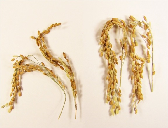 In addition to a near elimination of greenhouse gases associated with its growth, SUSIBA2 rice produces substantially more grains for a richer food source. The new strain is shown here (right) compared to the study's control. Image courtesy of Swedish University of Agricultural