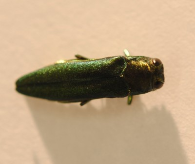 Female emerald ash borer. Since being introduced into the United States in the 1990s, this Asian beetle has devoured ash trees across much of the country. Engineers at Penn State and Western Michigan University have developed a way to produce large numbers of artificial females to use as decoys to trap males. Image: Penn State