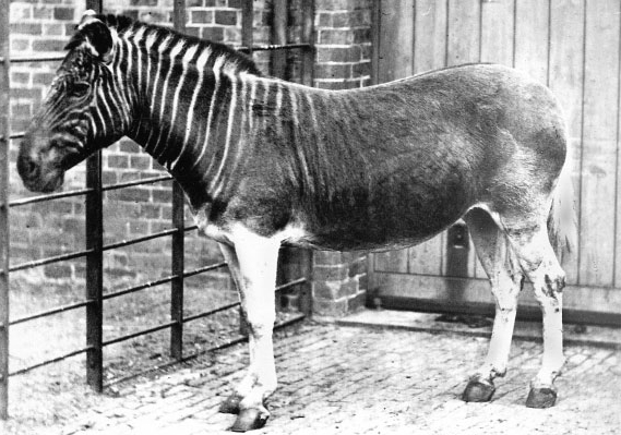 Quagga, a South African zebra, went extinct back in 19th century because of extensive hunting. There are only 7 skeleton remaining in the world. Image credit: Frederick York (d. 1903)/Biodiversity Heritage Library via Wikimedia, Public Domain