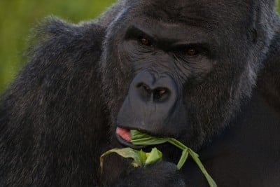 Higher primates like this Western lowland gorilla have stereoscopic and trichromatic vision like humans do. Wikimedia Commons