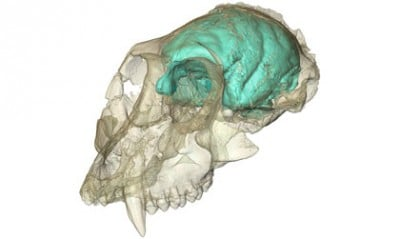 The brain hidden inside the oldest known Old World monkey skull has been visualized for the first time. The ancient monkey, known as Victoriapithecus, first made headlines in 1997 when its 15 million-year-old skull was discovered on an island in Kenya's Lake Victoria. Now, thanks to high-resolution X-ray imaging, researchers have peered inside its cranial cavity and created a three-dimensional computer model of what the animal's brain likely looked like. The tiny but remarkably wrinkled brain supports the idea that brain complexity can evolve before brain size in the primate family tree. The creature's fossilized skull is now part of the permanent collection of the National Museums of Kenya in Nairobi. Image credit Fred Spoor of the Max Planck Institute for Evolutionary Anthropology.