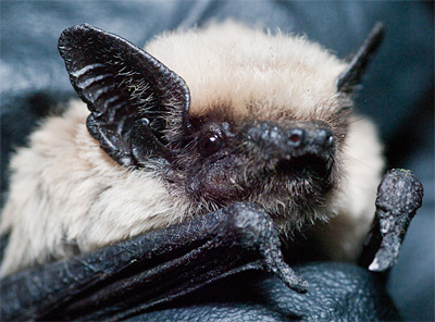 A canyon or pipistrelle bat, a common Northern California species of bat recorded with the new ultrasonic microphone. Image credit: WikimediaCommons