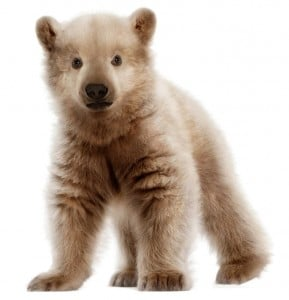 An artist's rendition of a polar-grizzly cub. This hybrid bear has been documented in the wild. Image credit: NickolayLamm.com
