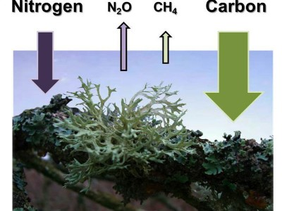 Lichens, mosses and cyanobacteria absorb large quantities of carbon dioxide (CO2) and also to some extent nitrogen (N2) from the atmosphere and emit nitrous oxide (N2O) and small quantities of methane (CH4).  © Karl-Heinz Kaupe